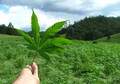 Lungen-Schädigung Marihuana-Konsum